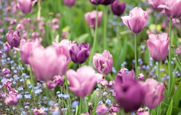 Лиловые тюльпаны в саду у Stadsbiblioteket, Мальмё